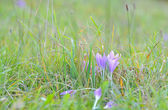 Crocus flowers in spring time — Foto Stock
