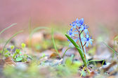 Blue spring flower, glory-of-the-snow — Stock Photo