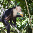 Monkey Biting a Banana — Stock Photo #10217589