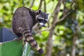Raccoon Exploring a Trash Can — Stock Photo