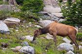 Elk montaña rocosa — Foto de Stock