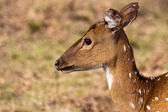 Chital Portrait — Stock Photo