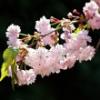 Japanese cherry  blossom — Stock Photo