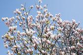 Magnolia — Stockfoto