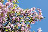 Drzewa magnolii — Zdjęcie stockowe