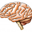 Brain anatomy - Stockfoto