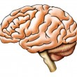 Brain anatomy - Stock Photo