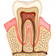 Dental anatomy - Stock Photo