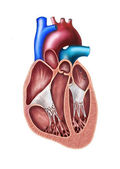 Heart section — Foto Stock
