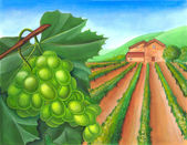 Grape and rural landscape — Stock Photo