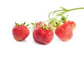 群的成熟的草莓 — 图库照片