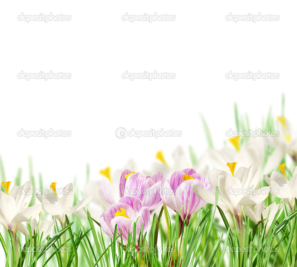 White and pink crocuses on white background  Stock Photo #8770218