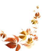 Autumn leaves — Stock Photo