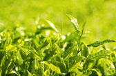 Morning shot of tea leaf with ray of lights background — Stock Photo