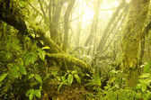 Mossy forest, cameron highlands in malaysia. — Stock Photo