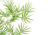 Bamboo with isolated white background — Stock Photo