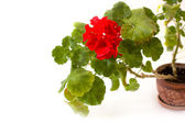 Red pelargonium flower in the pot isolated on white — Stock Photo