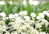 White flowers and green grass — Stock Photo