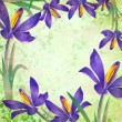 Grunge spring flower crocus frame with green background — Stock Photo