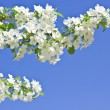 Blossoming apple tree spring photo - Stock Photo