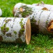 Beech logs - Stock Photo