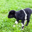 Baby goat in a grass field - Stock Photo