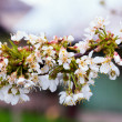 Cherry tree branch — Stock Photo