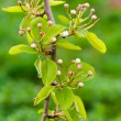 Pear tree branch — Foto de Stock