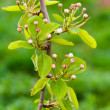 Pear tree branch — Stock Photo