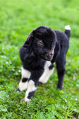 Baby goat in a grass field — Stock Photo