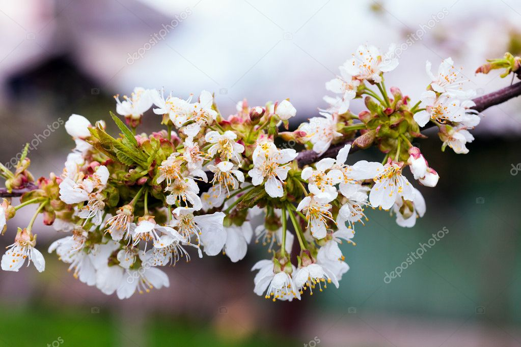 Closeup of a cherry tree branch with white flowers on springtime  Stock Photo #10118260