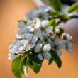 Pear flowers — Stock fotografie