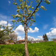Pear tree in a garden - Stock Photo