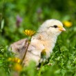 Cute baby chick in grass - Stock Photo
