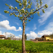 Stock Photo: Pear tree in a garden