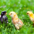 Stock Photo: Group of baby chicks in grass