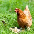 chicken with babies — Stock Photo #10475739