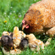 Chicken with babies — Stock Photo #10475769