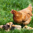 chicken with babies — Stock Photo #10475775