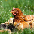 Chicken with babies — Stock Photo
