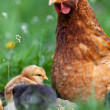 Chicken with babies — Stock Photo #10475795