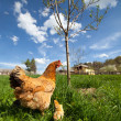 Chicken with babies — Stock Photo #10475809
