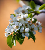 Pear flowers — Stock Photo