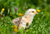 Cute baby chick in grass — Stock Photo