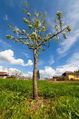 Pear tree in a garden — Stock Photo