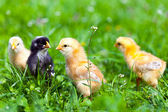 Group of baby chicks in grass — Stock Photo