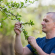 Agronomist checking cherry tree flowers — Stock Photo
