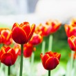Stock Photo: Red tulips