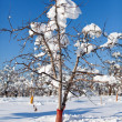 Orchard under snow — Stock Photo