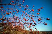 Briar busha — Zdjęcie stockowe